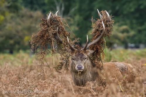 stag antlers embellishment bracken reddeer bushypark blinkagain andymorffew morffew