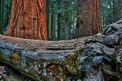 Sequoia National Park (Kari Siren) Tags: california park tree forest national redwood sequoia
