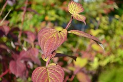 Red leaves in the sun (hcorper) Tags: autumn red rot fall leaves bokeh herbst blad bltter hst rda bokehthursday nikond3100