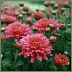 Autumn Mums (Read2me) Tags: pink flower green wet leaves rain drops dof mum winner pregame twothumbsup cye gamewinner 2thumbsup 3waychallengewinner friendlychallenges thumbsupwinner thechallengefactory herowinner superherochallengewinner agcgsweepwinner