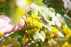 Green English Grapes (Sasha L'Estrange-Bell) Tags: england food nature fruit vineyard grapes grape greengrapes englishvineyard sunlitgrapes