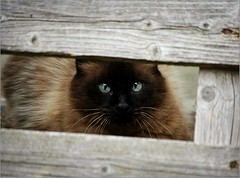 Peek a Boo .. (Viola's visions ) Tags: cats pets animals siam