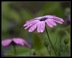 african daisy umbrella - [Explored #490 7/10/2012] (loobyloo55) Tags: flower nature water canon flora purple explore nsw floraandfauna explored