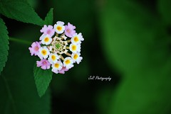 Wishing you all a colorful Sunday :-) (Joevimalraj) Tags: favorite sunlight mountain plant flower colour home nature colors beautiful beauty canon wow garden eos lights daylight stem colorful different dof natural bokeh swiss decorative shapes favorites naturallight joe divine mount photowalk designs buds bud differences colourful variety 1855mm elegant dslr simple flowershow slopes varieties godscreation naturalistic naturallights jvr joevimalraj