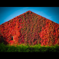 Autumn (palimpsest*) Tags: autumn house colour ivy hedge oldham iso125 focallength225mm canonpowershots90 6225mm 1320secatf49