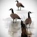 Dennis Nimner - Geese On Ice