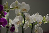 Orquídeas (marathoniano) Tags: naturaleza flower color colour art nature arte natural natureza flor cartagena orquídea thegalaxy marathoniano ramónsobrinotorrens bewiahn