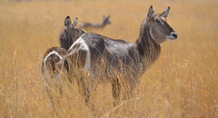 Waterbuck in golden veld (Peter J Moore) Tags: matchpointwinner favescontestfavored