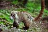Badger (SegundoFelino) Tags: naturaleza nature animal mexico photography badger adrien tepoztlan morelos sandoval tejon