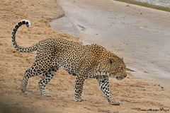 Leopard (Panthera pardus) (Arno Meintjes Wildlife) Tags: africa park camp wallpaper holiday color art nature animal animals closeup southafrica bush wildlife safari explore leopard bigcat endangered predator animalplanet mammalia rsa krugernationalpark mpumalanga krugerpark carnivore kruger birdwatcher excellence big5 naturelovers knp sanparks naturesfinest pantherapardus naturescall flickrsbest meintjes colorphotoaward arnomeintjes naturewatcher internationalgeographic naturesgreenpeace bigf5