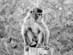 Macaca fuscata --  Japanese Macaque 1279 (2) (Tangled Bank) Tags: asahiyama zoo zoological gardens hokkaido japan primate macaca fuscata japanese macaques 1272 monkey snow
