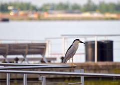Heron In a Big City (kaprysnamorela) Tags: lake toronto ontario canada bird nature outside dawn harbourfront nikond3300 blackcapednightheron