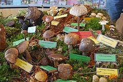 Teil von (echter) Pilz-Sammlung bei Tagung in St.Oswald (waidlerwiki) Tags: pilze schwammerl mushroom waldgeschichtlichesmuseum stoswald ausstellung exhibition nationalparkbayerischerwald bavarianforestnationalpark bayerwald bayerischerwald germany