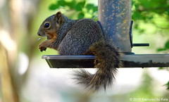 Baby Squirrels First Time In The High Feeder (Kaptured by Kala) Tags: sciurusniger foxsquirrel squirrel garlandtexas finchfeeder sunflowerseed baby babysquirrel birdseed eating fee