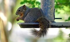 Baby Squirrels First Time In The High Feeder (Kaptured by Kala) Tags: sciurusniger foxsquirrel squirrel garlandtexas finchfeeder sunflowerseed baby babysquirrel birdseed eating fee