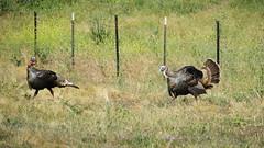 Turkey Dating Game (tourtrophy) Tags: wildturkeys turkeys turkey sycamoregroveregionalpark eastbayregionalpark livermore birds bird canoneos7dmark2 canonefs55250mmf456isstm