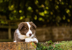 Tali with Bokeh - #Explored (asheers) Tags: bordercollie collie young puppy pup red white bokeh eyes cute