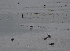Dunlins find food at low tide on Boschplaat, Terschelling (Alta alatis patent) Tags: wadden lowtide boschplaat bontestrandlopers dunlin calidrisalpina birds food
