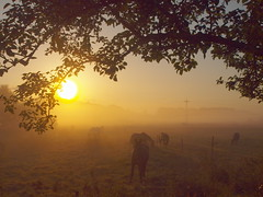 sunny and misty morning with horses P8280306 (hans 1960) Tags: mist misty nebel summer sommer sun sunrise sonne sonnenaufgang leaves sol soleil atardecer pferde horses licht light nature natur landschaft landscape weide zaun fence bltter morgen morning golden farben colours germany