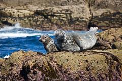 IMG_4483_edited-1 (Lofty1965) Tags: islesofscilly ios seal