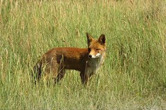 The young one (Manon van der Burg) Tags: fox vos jong mannetje grass natuur nature awd coffeebreak red wild cub powerrrrshot canon naturelover natuurfotografie shocked sx60
