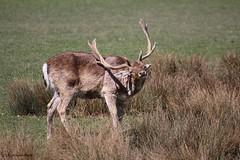 Daim (Passion Animaux & Photos) Tags: daim fallow deer parc animalier saintecroix france