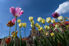 Tulips sunbathing (javierinsitu) Tags: tulipes tulips tulipanes flower flowers colors colorfull sky tokina 1116 poland cracow polonia cracovia supershot