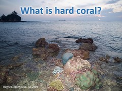 What is a coral? And what is coral bleaching? (wildsingapore) Tags: bleaching threats island singapore marine coastal intertidal shore seashore marinelife nature wildlife underwater wildsingapore scleractinia landscape
