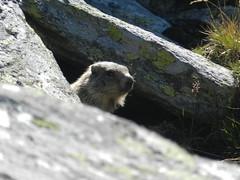 DSCN6748 (mi|u) Tags: marmot groundhog wistlepig retezat