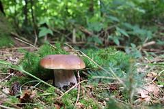Mushroom (Chrischi San) Tags: pilze wald mushroom