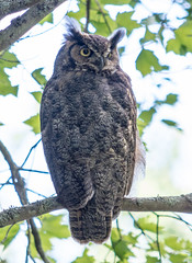 Great Horned Owl (James P. Mann) Tags: great horned owl bird birds owls nature wildlife trails hiking