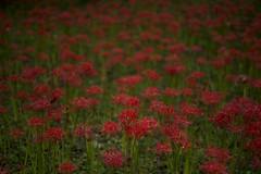 cluster amaryllis (RenField - Toel-ul Laputa) Tags: nikon d800e sigma 50mm art red nature flower japan jpn kyusyu miyazaki cluster amaryllis