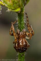 Furrow Orb Spider - Larinioides cornutus (clanchief) Tags: larinioidescornutus furrowspider furroworb spider web orb orbweaver pond reeds silk invertebrate larinioides araneidae araneae