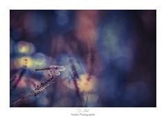 Les mille et une nuits (Naska Photographie) Tags: naska photographie photo photographe paysage proxy proxyphoto macro macrophotographie macrophoto extrieur insectes volant libellule odanate dragonfly dragonflie voyage frie frique color couleur bokeh