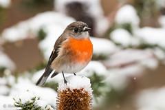 snowrobin-2508 (Henry.Cook) Tags: snow robin scarlet scarlettjohansson petroicaboodang birdperchinginsnow banksia