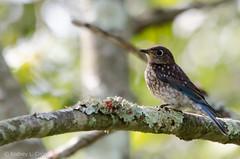 Eastern Bluebird fledgling (rl.crice) Tags: august bigbonestatepark bluebird boonecounty