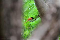 Asian Paradise Flycatcher female (mihir_dhandha) Tags: asianparadiseflycatcher terpsiphoneparadisi birdphotography hingolgadh canoneos7d canon55250 canonkitlens bird