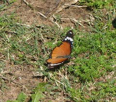 African Monarch (tapaculo99) Tags: danauschrysippus plaintiger africanmonarch monarch butterfly insect lepidoptera animal africa southafrica