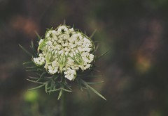 Young and Wild (Ayeshadows) Tags: queenslace white bokeh dof outdoor mountains mountainflower wild queenanneslace daucuscarota