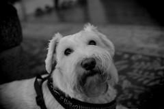 Daisy, in Mono. 25 (EOS) (Mega-Magpie) Tags: canon eos 60d indoors dog puppy cute miniature schnauzer bw black white monochrome