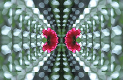 (Photosintheattic (Devy)) Tags: roses falling leaping flickr buildings flowers pink photoeffects jumping illusion