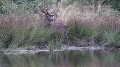 sortie de souille. (poun'ish) Tags: cerf cervid brame sauvage nature wildlife