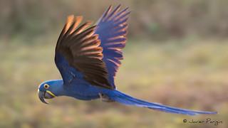 Arara Azul Grande | Guacamayo Jacinto ( Blue ) ( Explore )