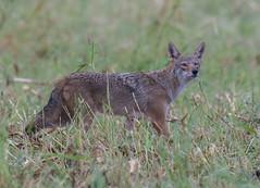 Coyote (VisualUniverse) Tags: frisco texas unitedstates us coyote nikon500mmf4efledvr nikond500 cottonwoodcreeknaturetrail