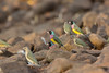 Gouldian finches (Erythrura gouldiae) (Nathan Litjens) Tags: erythrura gouldian kimberley drinking finch finches gouldiae