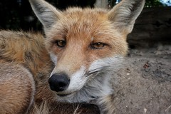 Rescued fox (beyondhue) Tags: rescued fox red closeup beyondhue czech republic farm animal fur close sit eye contact