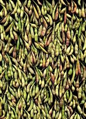57683.01 Raphanus sativus (horticultural art) Tags: horticulturalart raphanussativus raphanus seedpods pattern