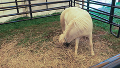 porter county fair. july 2015 (timp37) Tags: summer july 2015 indiana porter county fair horse minature