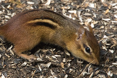 Eastern Chipmunk at Ashland Nature Center (Scott Alan McClurg) Tags: animalia chordata mammalia marmotini rodentia sciuridae tstriatus tamias animal ashland ashlandnaturecenter brown center cute feed feeder feeding life mammal nature naturephotography rodent seed wild wildlife