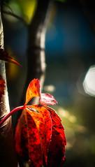Autumn Inception (Astroredg) Tags: colors couleurs couleur color fall autumn automne leaves feuilles contrast contraste bokeh takumar photographia lumineux luminous redleaves feuillesrouges tree arbre softfocus colorful colr takumar135mm fotofiox canada quebec takumarf25 backlit rtroclair
